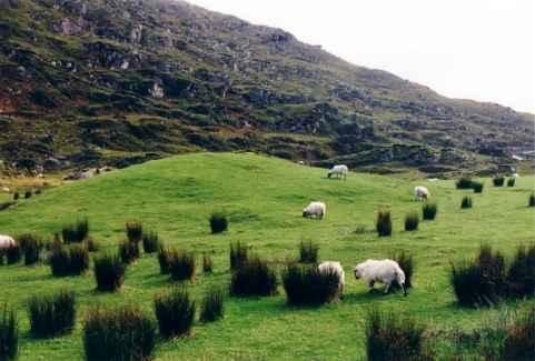 Schrecklich fotogene Schafe im Gap